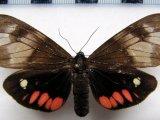 Dysschema tricolor  femelle Sulzer, 1776