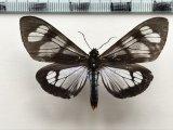 Dysschema tricolor mâle Sulzer, 1776
