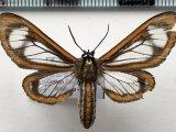 Hyalurga dorsilinea mâle  Hering, 1925
