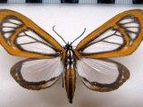 Hyalurga fenestra femelle  Linnaeus, 1788