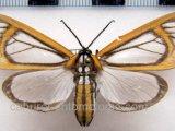 Hyalurga fenestra mâle Linnaeus, 1788