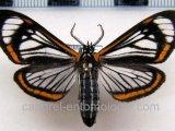 Hyalurga lauronoides  mâle Hering, 1925