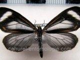 Hyalurga leucophlebia femelle  Hering, 1925