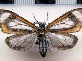 Hyalurga leucophlebia  mâle  Hering, 1925