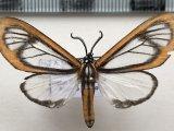 Hyalurga nr discozellularis mâle Strand, 1921