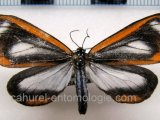 Hyalurga osiba  femelle Druce, 1893