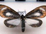 Hyalurga osiba  mâle Druce, 1893