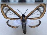 Hyalurga sp 205 mâle