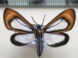 Hyalurga sp 272 mâle