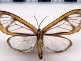 Hyalurga  sp (fenestra ?)  mâle