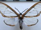 Hyalurga urioides  mâle  Schaus, 1910