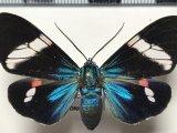 Hypocrita glauca mâle  (Cramer, 1777)