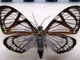 Hypocrita phanoptoides  male Zerny, 1928