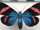 Hypocrita temperata mâle Walker, 1856