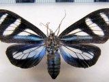 Isostola divisa  femelle