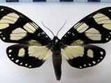 Notophyson heliconides femelle Swainson, 1833