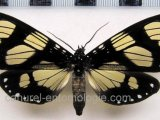 Notophyson heliconides  male Swainson, 1833