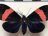 Thyrgis phlegon femelle  (Druce, 1885)