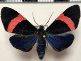 Thyrgis phlegon mâle  (Druce, 1885)