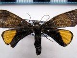 Arctiinae sp F01