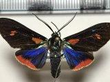 Cyanopepla fulgens  mâle Herrich-Schäffer 1854