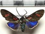 Cyanopepla hurama  mâle  Butler, 1876