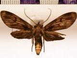 Hyaleucerea leucoprocta male Dognin, 1909