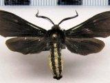 Calonotos aterrima    male (Sepp, [1843-1848])