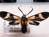 Dycladia lucetius  male (Stoll, 1781)