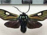 Eupyra ducalis mâle Maassen, 1890
