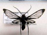Heterodontia attenuata Male  (Hampson, 1905)