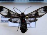 Heterodontia fenestrina femelle   (Butler, 1876)