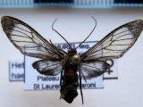 Heterodontia haematica  femelle  (Perty, 1833)