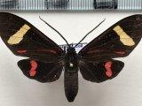 Histioea amazonicus mâle Butler, 1876