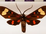 Histioea cepheus  cepheus male (Cramer, 1779)