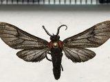 Hypocharis pebasa mâle  (Kaye, 1918