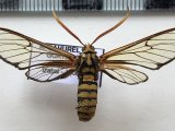 Isanthrene craboniformis mâle  Staudinger, 1876