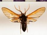 Isanthrene vespiformis  male  Butler