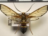 Laemocharis porphyria  mâle    (Walker, 1854)