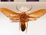Laemocharis profusa mâle  Hampson, 1898