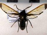 Laemocharis varia     mâle  (Walker, 1854)