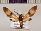 Leucotmemis varipes  male  (Walker, 1854)