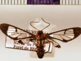 Loxophlebia bisigna male (Kaye, 1911)