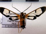 Loxophlebia cinctata