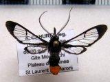 Loxophlebia postflavia male Druce, 1898