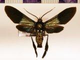 Macrocneme cupreipennis  male Walker