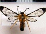 Mesothen mimus male Cerda, 2008