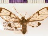 Mesothen  sp 01 femelle