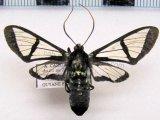 Nyridela acroxantha  (Hübner, 1831)