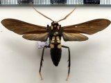 0rcynia calcarata (Walker, 1854)